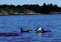 Whale watching in the San Juan Islands