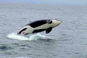 Orca whales in the islands of Washington State
