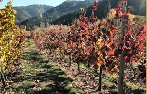 Vineyard at Eagle Creek Winery in Leavenworth